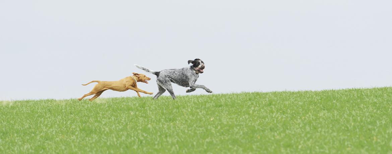 Jagdhunde Verstehen Des J 228 Gers Gehilfe Auf Dem Sofa