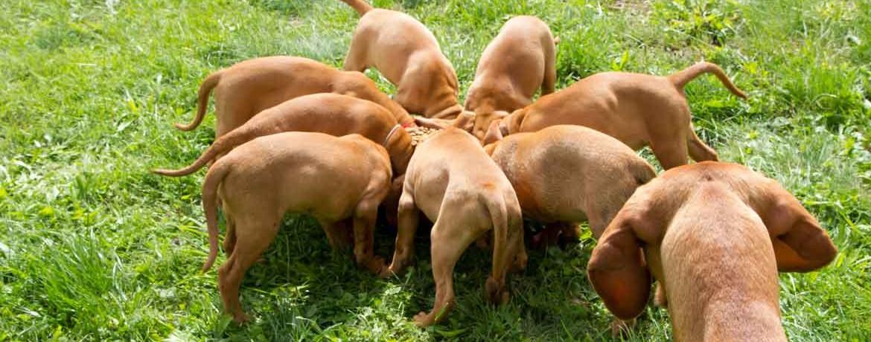 Zucht und Aufzucht von Hunden