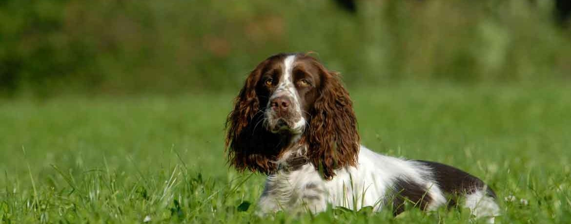 Der English Springer Spaniel