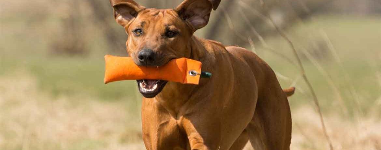 Der Rhodesian Ridgeback Kein Hund Für Jedermann Schweizer Hunde