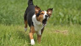Appenzeller-Sennenhund-Mischling / Appenzell-Mountain-Dog-Mongrel