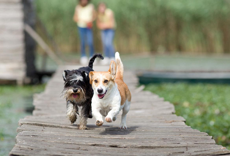 kleiner japanischer hund