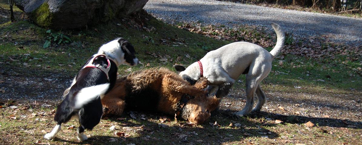 Sozialkontakt» − Ist der Hund (k)ein Rudeltier?