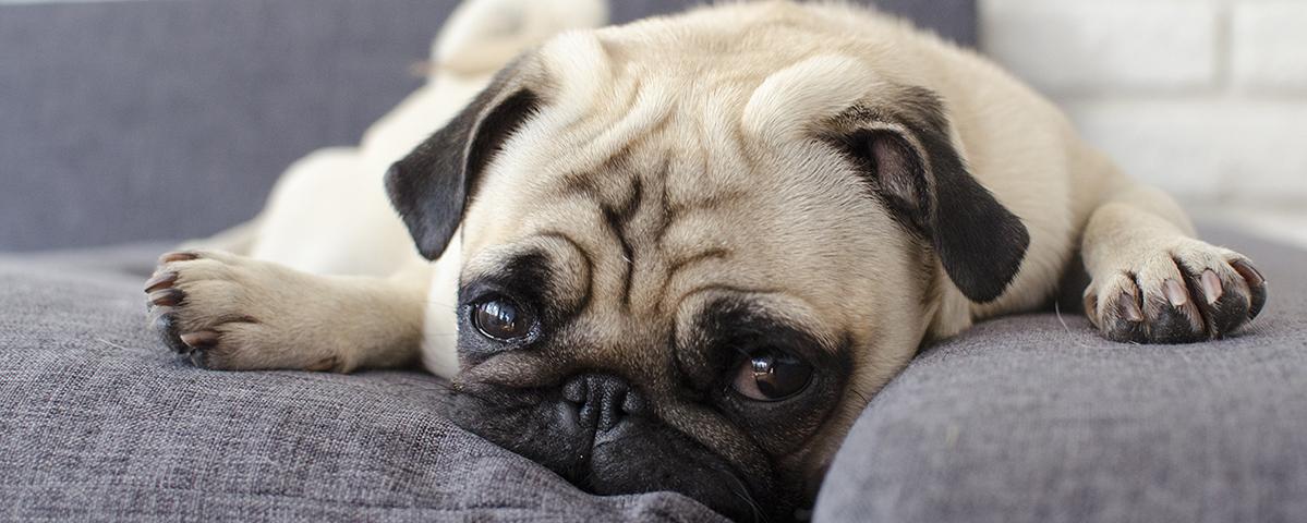 kurzk pfigkeit bei hunden schweizer hunde magazin. Black Bedroom Furniture Sets. Home Design Ideas